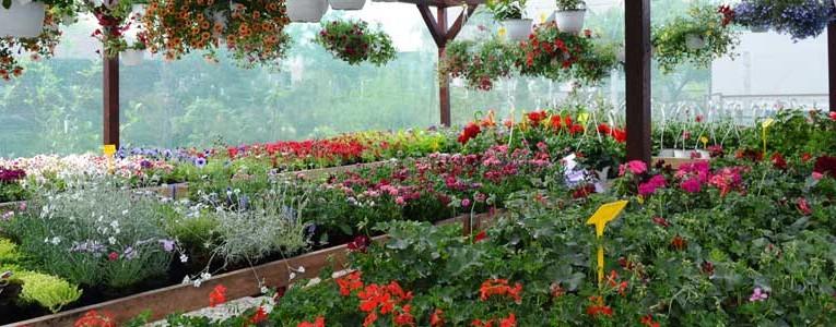 Despre butasi trandafiri, ingrijirea si folosirea florilor